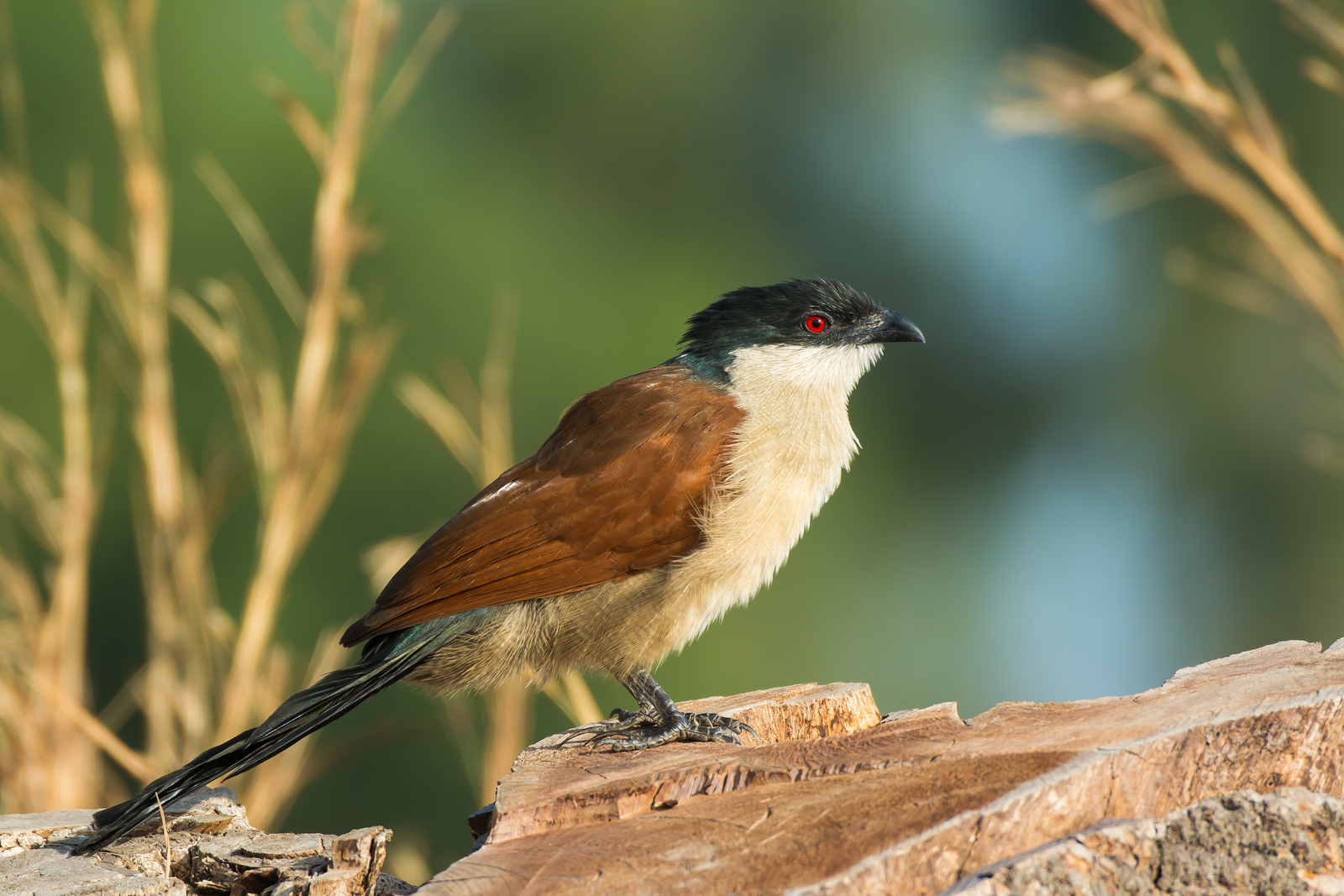 A Senegal Coucal (Centropus senegalensis) resting on a stump in profile ** Note: Shallow depth of field